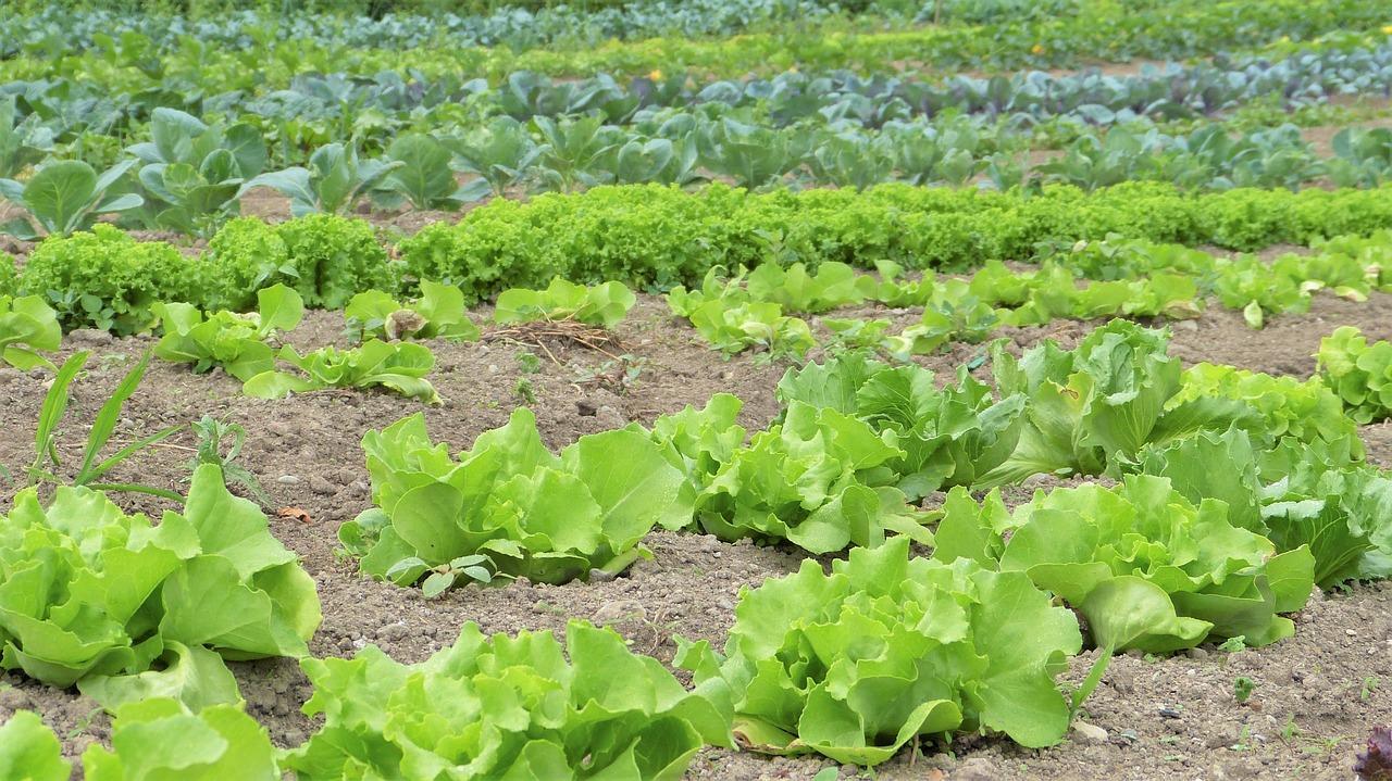 Ackerboden mit Salat