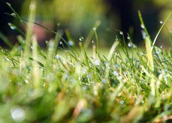 Unkraut im Rasen entfernen | Rasenunkraut bekämpfen & vernichten