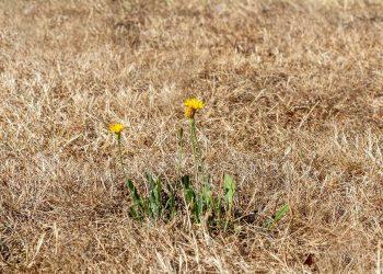 Rasen wird Braun & Gelb | Tipps gegen braune & gelbe Flecken