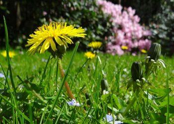 Unkraut mit gelben Blüten bestimmen | Blühend & gelbe Blätter