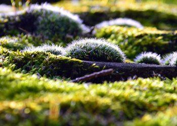 Holzasche gegen Moos im Rasen – Hilft Asche wirklich?
