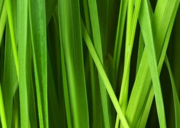 Rasensorten Vergleich | Rasenarten für Garten & Blumenwiese