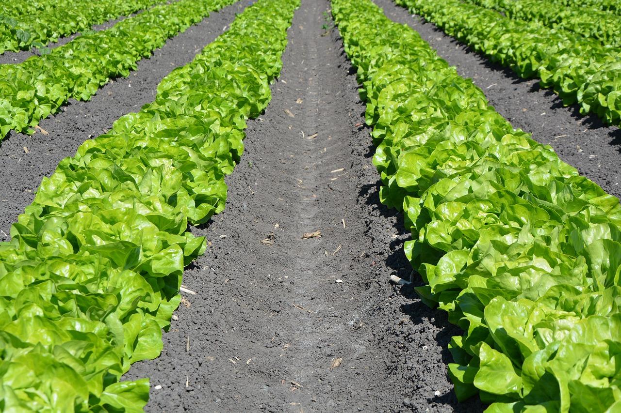 Garten Salat Beet