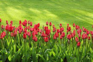 Garten Rasen Gras Tulpen